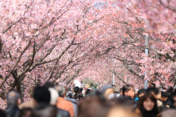 people cherry trees small