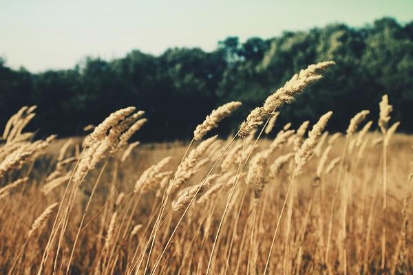 wheat sma;;