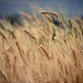 wheat 2 small