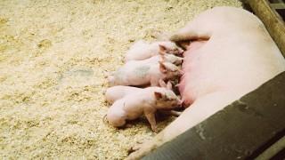 unsplash pigs small